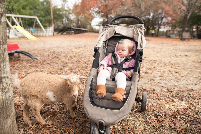 Toddler in stroller by goat