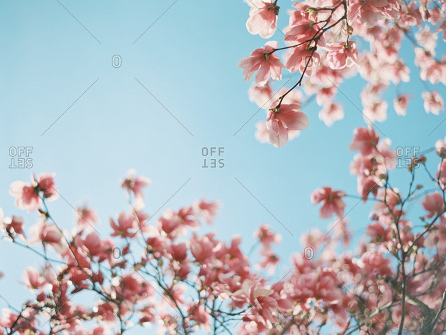 Blooming pink tree and blue sky