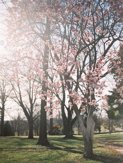 Blooming pink magnolia trees in a park