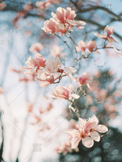 Pink blossoms on a tree branch