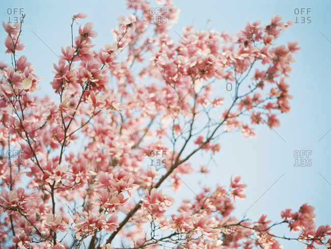 Pink blossoms on tree branches against a blue sky