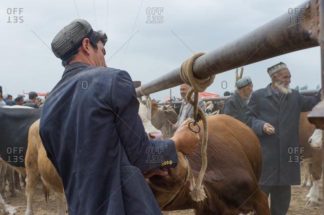 Kashgar, China - May 10, 2015: Man petting cow at livestock auction, Kashgar