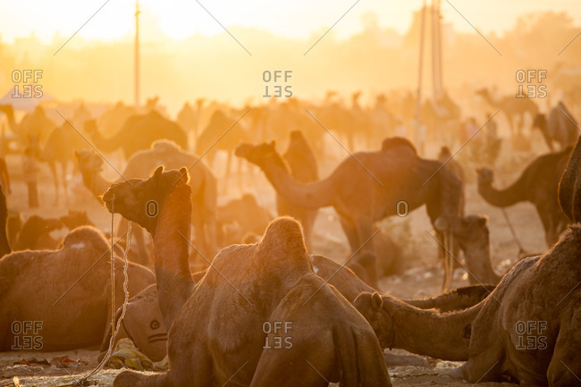 Camels resting in rural India