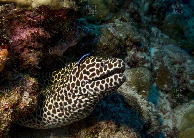 Cleaner wrasse by honeycomb moray