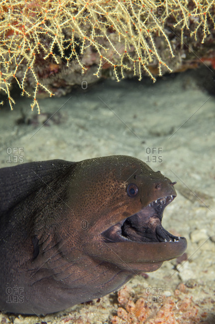 Gaping mouth of a moray eel
