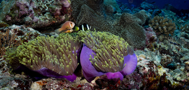 Coral reef scene with clownfish
