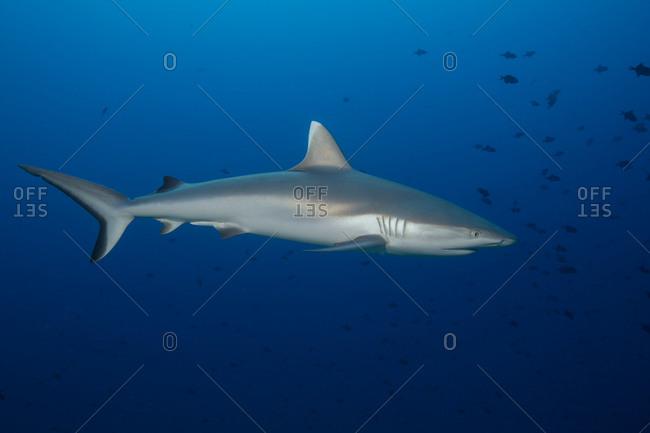 Majestic gray reef shark - Offset