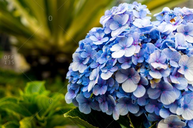 Hydrangea in close up