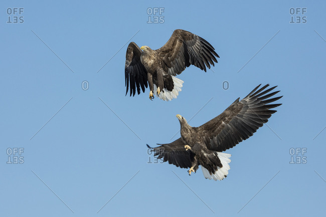 A pair of white-tailed eagles in flight