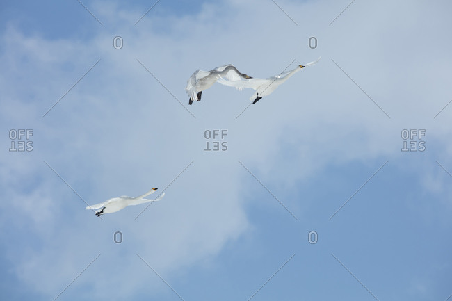 Whooper swans flying in formation