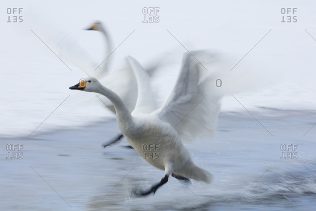 A pair of whooper swans taking off together