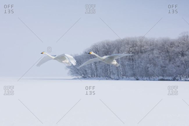 A pair of whooper swans flying
