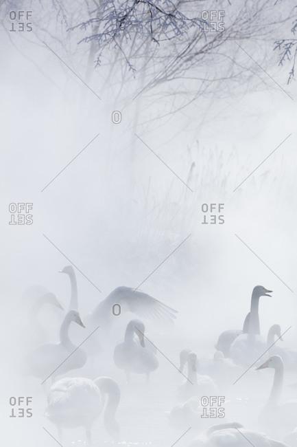 Whooper swans on a lake in Hokkaido, Japan