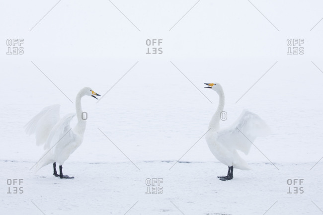 Whooper swans standing in the snow with wings outspread