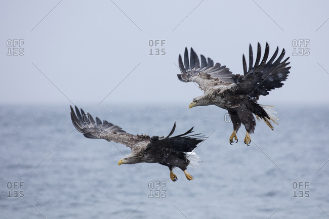 White-tailed eagles in flight