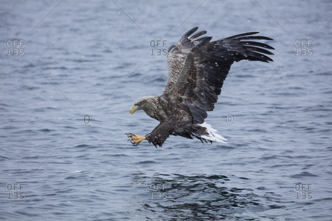 White-tailed eagle catching a fish