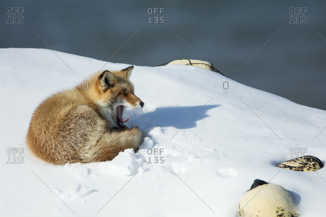 Northern red fox in Hokkaido, Japan