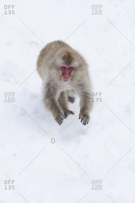 Snow monkey in Nagano, Japan