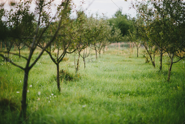 Rows of a trees in an orchard