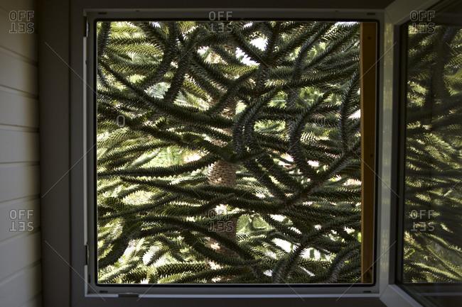 Argentinean tree outside window