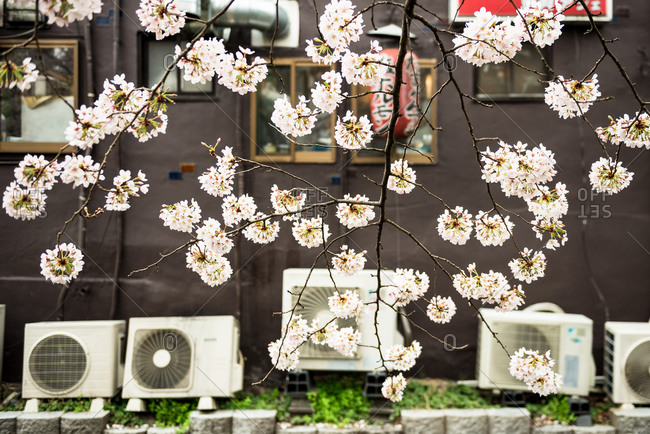 Kyoto, Japan - April 2, 2016: Close-up of a Japanese cherry tree in bloom