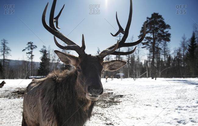 Portrait of a reindeer with huge rack of antlers