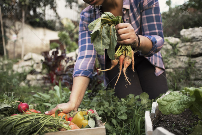 Woman pulling vegetables in garden