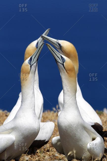 Gannet pairs preening in greeting