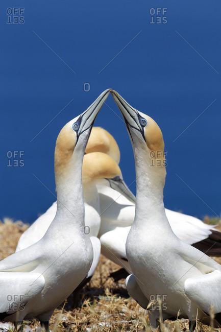 Gannet pairs preening, New Zealand