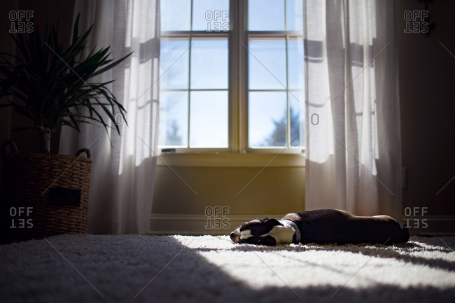 Dog lying down on a patch of sunlit carpet in an empty room