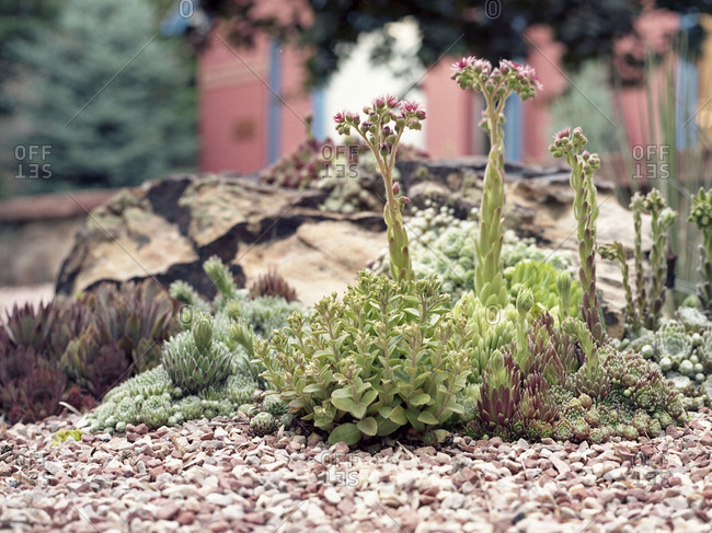 Close-up of succulent plants in a rock garden