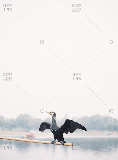 Cormorant bird spreading his wings