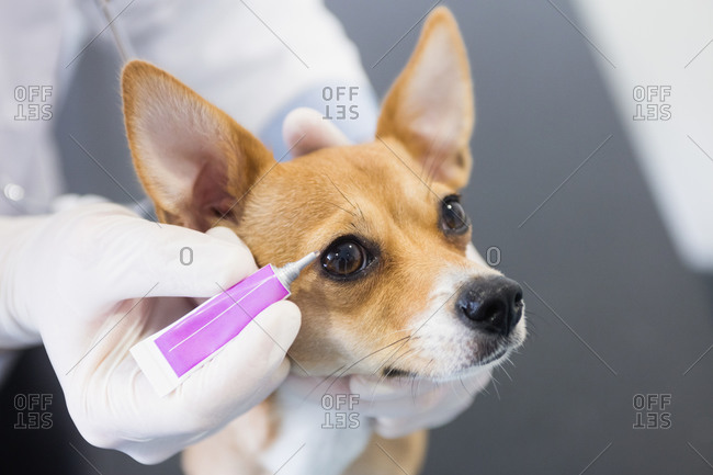 Vet putting eye drops in dog eye at clinic
