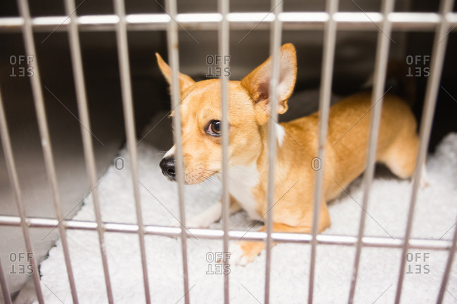 Chihuahua dog in cage at veterinary clinic