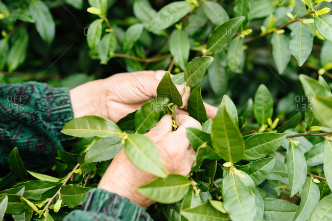 Close up of a woman pulling leaves off of a plant in tea field