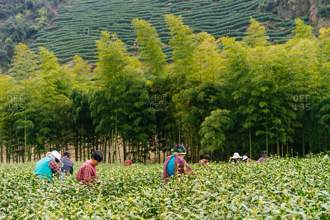 China - April 7, 2016: Workers working in tea field