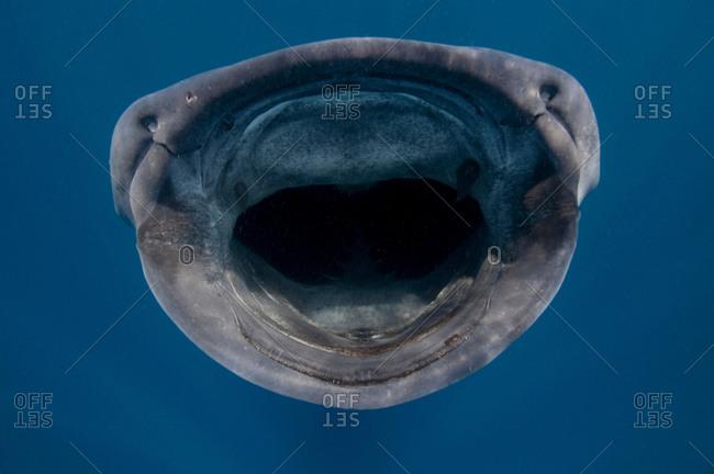 Close up of whale shark (Rhincodon typus) feeding on plankton, Contoy Island, Quintana Roo, Mexico