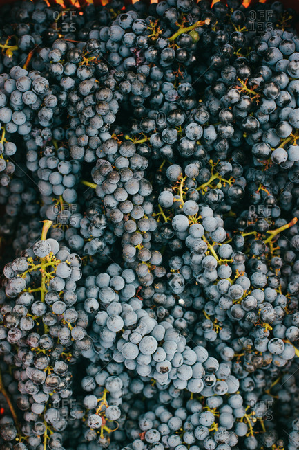 Freshly harvested wine grapes in chianti region of Tuscany, Italy