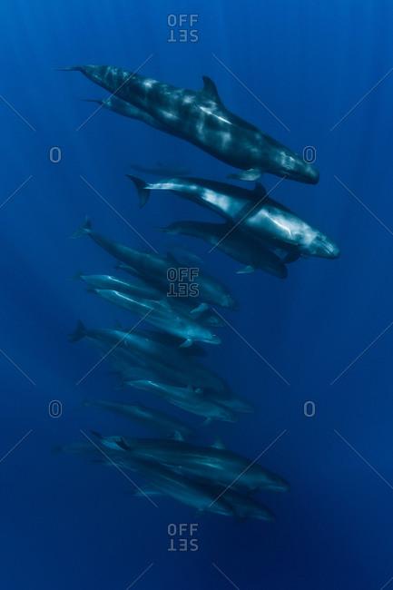 False killer whales (Pseudorca crassidens) leisurely cruise around the crispy blue water of San Benedicto Island, Revillagigedo Archipelago, Mexican pacific