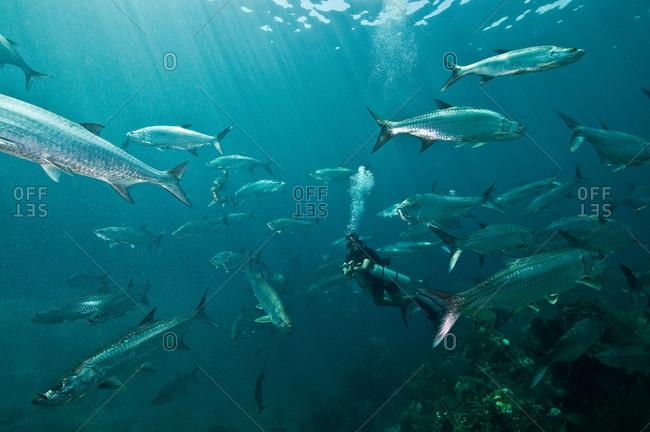 Huge schools of tarpon (Megalops atlanticus) surround a diver in Xcalak Marine Park, Quintana Roo, Mexico