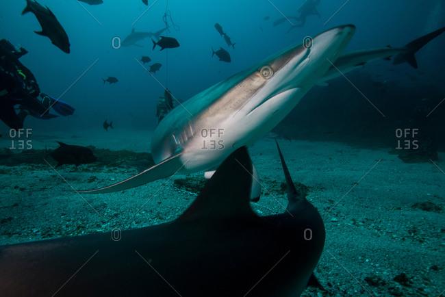 A silky shark avoiding another shark during a deep dive, in Socorro Island, Mexico