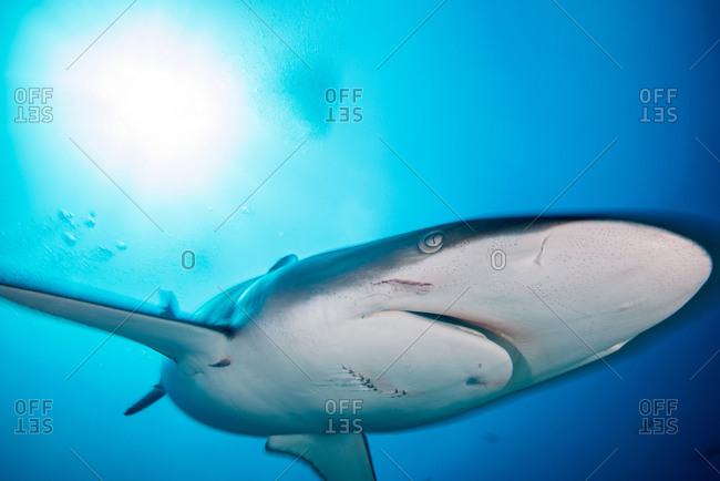 A female silky shark with bite marks inflicted by a male during mating, Socorro Island, Mexico
