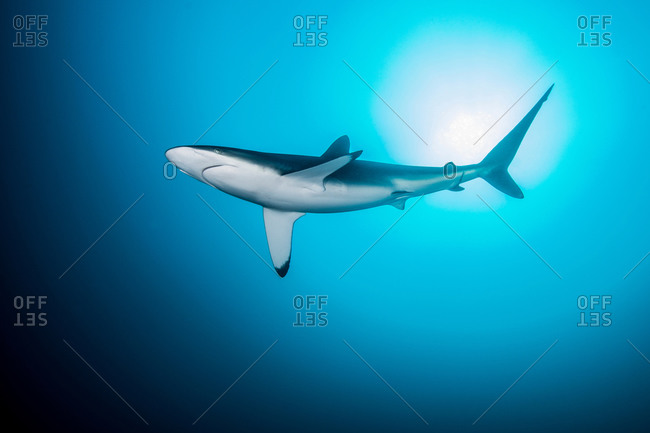Lonely, curious silky shark circling, Socorro Island, Revillagigedo, Mexico