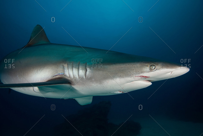 Female silky shark with bite marks, probably received during courtship ritual, Socorro Island, Revillagigedo, Mexico
