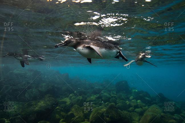 Galapagos penguins (Spheniscus mendiculus) swimming, Galapagos Islands, Ecuador