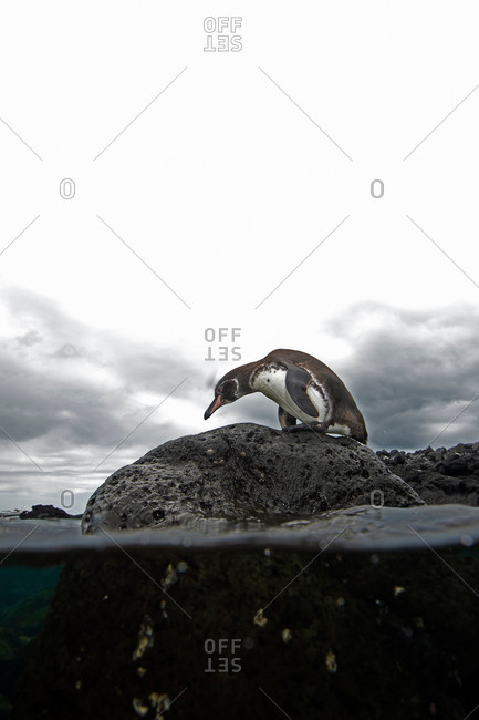 Galapagos penguin (Spheniscus mendiculus) standing on rock, Galapagos Islands, Ecuador