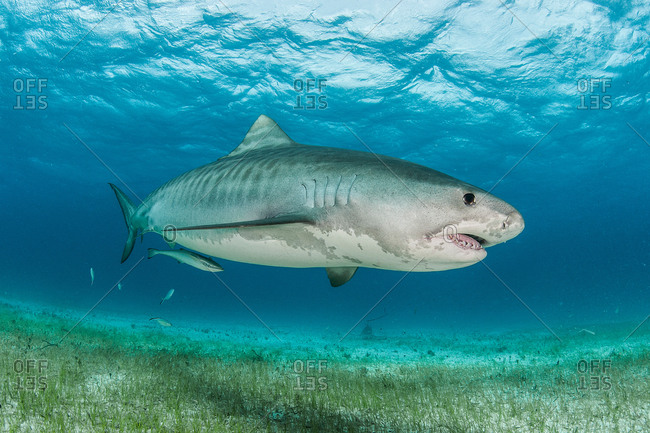 Tiger shark (Galeocerdo cuvier) swimming in the reefs north of the Bahamas in the Caribbean