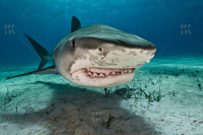 Tiger sharks (Galeocerdo cuvier) are common in the reefs north of the Bahamas in the Caribbean