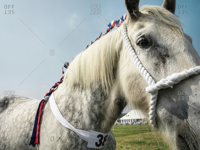 Shire horse at English country show, close up