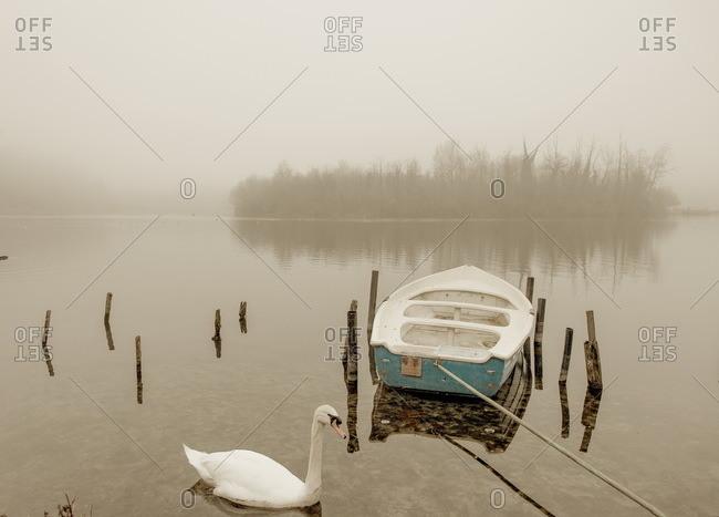 Swan swimming next to a boat moored on the river Adda near Trezzo D'Adda, Italy
